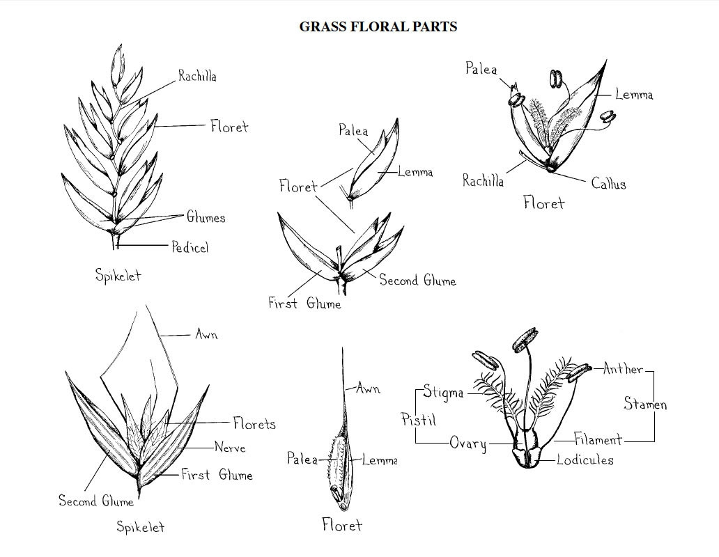 Figure 2. Grass Floral Parts (Credit: Norman Melvin, USDA Cold Region Research and Engineering Laboratory).
